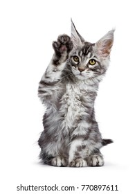 Black silver tabby Maine Coon cat kitten sitting isolated on white background  with paw high in the air