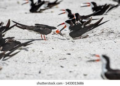 Black skimmer family on the beach at their nesting site