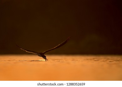 A Black Skimmer flies low over the water with its beak skimming the surface while glowing in the early morning sun.