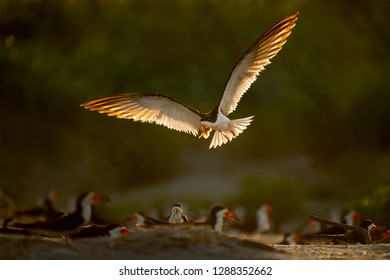 A Black Skimmer flies over the flock of other skimmers on the beach as its light wings glow in the early morning sun.