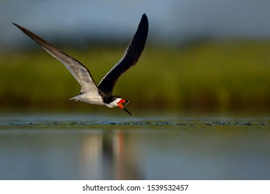 A Black Skimmer flies and tosses a minnow in the air to catch with a smooth marsh grass background.