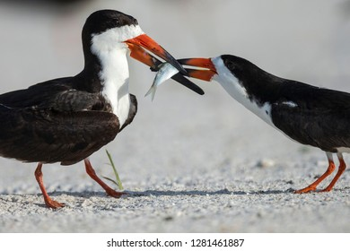 Black Skimmer protecting minnow from others, Rynchops Niger, Gulf of Mexico, Florida