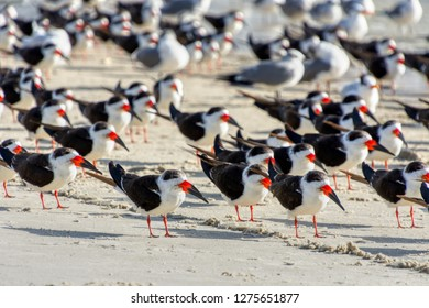The Black Skimmer (Rynchops niger) is a beautiful Tern-like bird whose lower bill is longer than its upper one. They are often seen flocking with gulls.