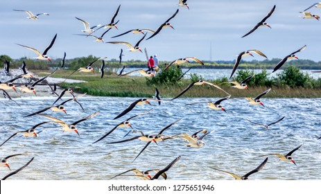 The Black Skimmer (Rynchops niger) is a beautiful Tern-like bird whose lower bill is longer than its upper one. These are seen in flight over a central Florida gulf coast beach.
