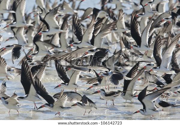 black-skimmers-flock-landing-latin-600w-