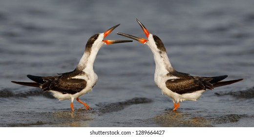 Black Skimmers (Rynchops niger) disputing territory on a Gulf of Mexico beach - Florida