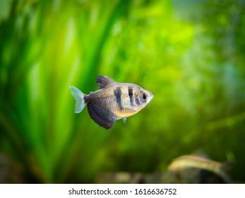 Black Skirt Tetra (Gymnocorymbus ternetzi) in a fish tank