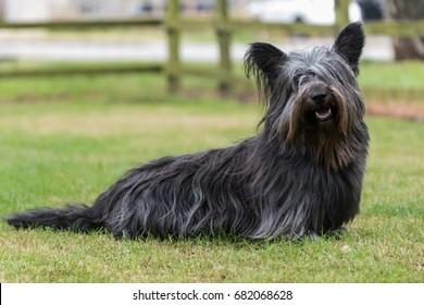 Black Skye Terrier sitting on grass