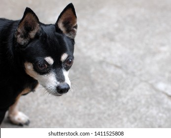 black small happy miniature pincher dog portraits
