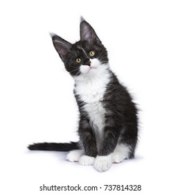 Regal Maine Coon Cats Images Stock Photos Vectors Shutterstock