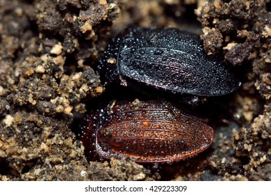 Black snail beetle (Silpha atrata) colour forms. Insects in the family Silphidae, showing black and brown varieties covered with dew