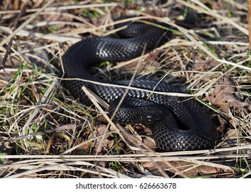 Black snake hiding at the grass at sun with red eyes