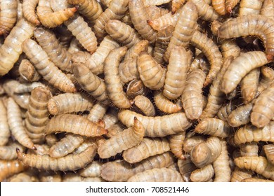 Black soldier fly larvae as background.