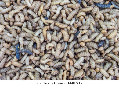Black Soldier Fly larvae (Hermetia illucens) group of worms.