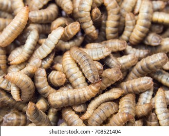 Black soldier fly larvae used for protein animal feed ingredient, Close up.