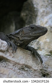 Black Spiny Tailed Iguanas in Tulum Mayan Ruin in Mexico