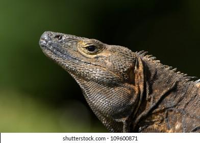 Black spiny-tailed iguana, (Ctenosaura similis), Parque Nacional Coiba, Panama, Central America