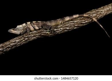 Black spiny-tailed iguana (Ctenosaura similis)