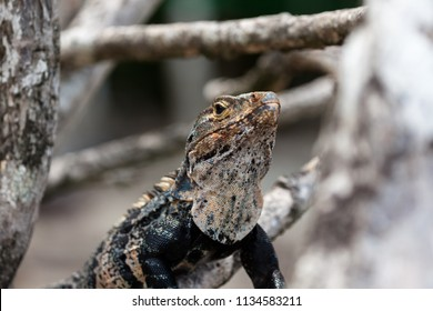 A black spiny-tailed iguana found in Manuel Antonio, Costa Rica.