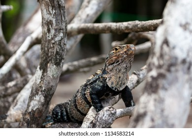 A black spiny-tailed iguana resting on a tree branch in Manuel Antonio National Park, Costa Rica.