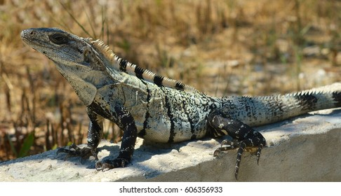 Black spiny-tailed iguana (wish willy) resting on a wall in Belize, Central America. This species is the fastest running lizard in the world, with a recorded sprint speed of 34.6 km/h.