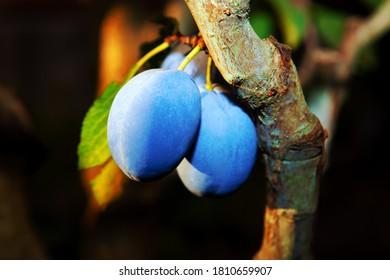 Black Splendor Plums on a tree