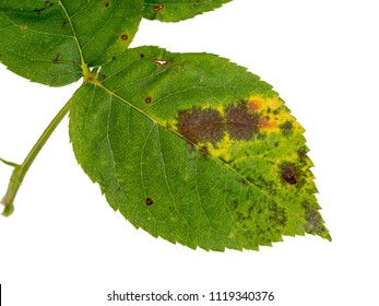 Black spot fungus effect on rose plant. Diplocarpon rosae. Leaf detail isolated on white.