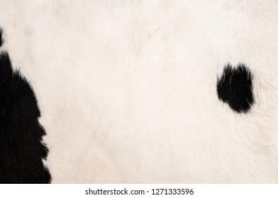 Black spots cow's skin pattern
