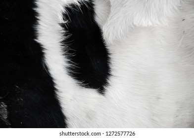Black spots on the cow's skin