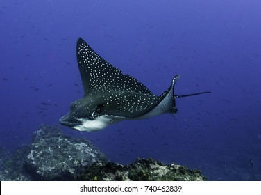 Black spotted eagle ray swimming over the coral reef, Darwin Island, Galapagos Islands, Ecuador.