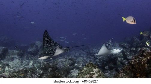 Black spotted eagle rays swimming over the coral reef, Darwin Island, Galapagos Islands, Ecuador.