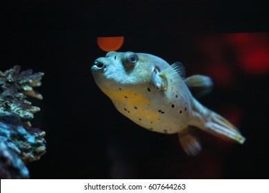 Black spotted puffer, Dog-faced puffer, Brown puffer, strange fish, weird fish, aquarium fish