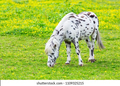 Black spotted white pony eating grass in flowering pasture