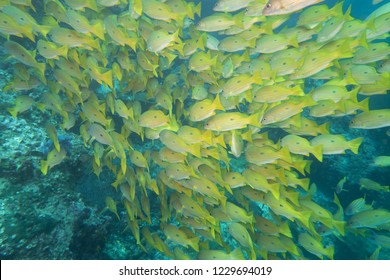 Black spotted yellow snappers grouping up in large schools to be protected against predators
