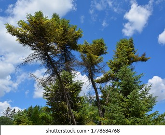 The black spruce, is a North American species of spruce tree in the pine family. It is widespread across Canada, found in all 10 provinces and all 3 Arctic territories.