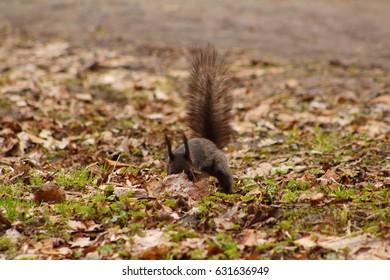 Black squirrel hiding a nut