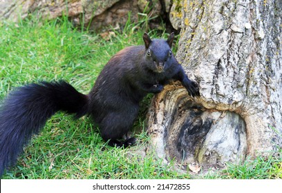 Black squirrel on the ground near a tree