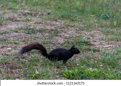 Black squirrel  running on green grass