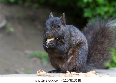 Black squirrels having peanuts