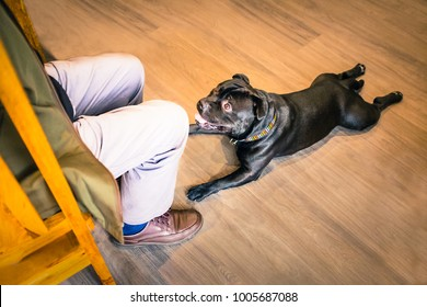 black staffordshire bull terrier dog lying down with his legs stretched out behing him on a wooden floor, he is at the feet of a man training him. He is looking at him focused and expectant.