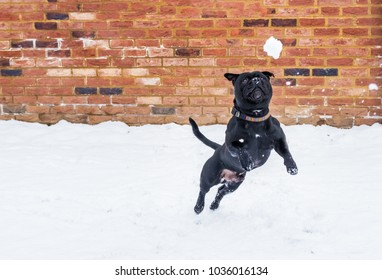 Black staffordshire Bull Terrier dog playing in snow and leaps for a snowball in front of a red brick built wall.