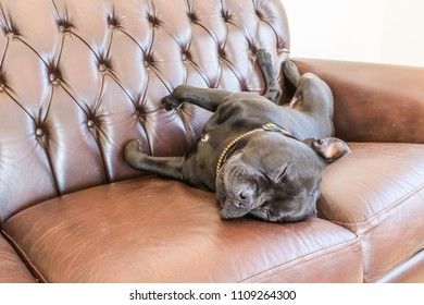 Black staffordshire bull terrier dog asleep on a brown vintage style leather sofa