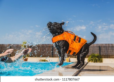 black staffordshire bull terrier dog in an orange lifejacket playing safely by the side of a swimming pool. He is enjoying being splashed