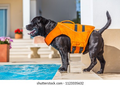 black staffordshire bull terrier dog in an orange lifejacket standing safely by the side of an outdoor swimming pool.