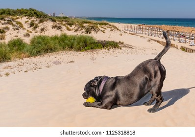black staffordshire bull terrier dog playing on Praia Verde beach with two tennis balls. He looks like he is doing a yoga with his tail up in the air.