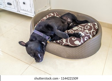 black staffordshire bull terrier dog asleep in a plastic bed with cushion. His head is hanging over the edge of the bed in what looks like an awkward angle but he is relxed and sleeping