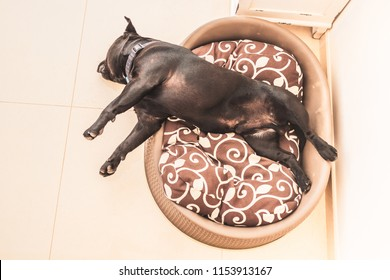 black staffordshire bull terrier dog asleep in a plastic bed with cushion. His head is hanging over the edge of the bed in a awkward angle but he is relaxed and sleeping. Seen from above