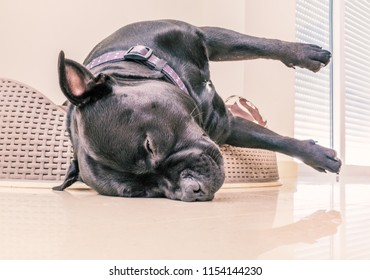 black staffordshire bull terrier dog asleep in a plastic bed with cushion. His head is hanging over the edge of the bed in what looks like an awkward angle but he is relaxed and sleeping