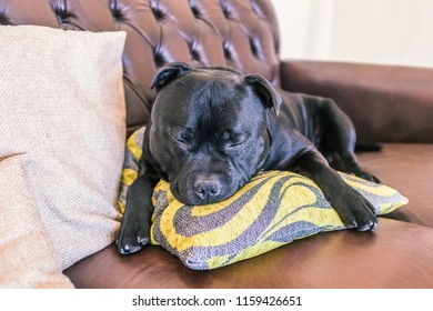 black staffordshire bull terrier dog asleep hugging a green and grey cushion on a brown leather vintage leather sofa