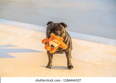 black staffordshire bull terrier dog standing on stone steps in late afternoon golden sunshine holding a cute teddy bear in his mouth waiting to play